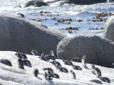 Pinguine an der False Bay