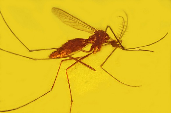 Malaria übertragender Moskito Oregon State University